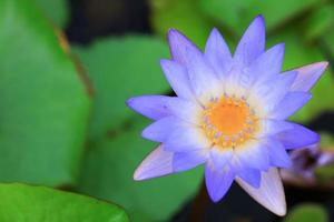 Close up top view of a purple lotus flower or water lily in a pool