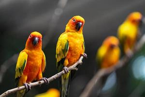 Sun conure parrots in the evening photo