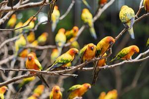 Beautiful sun conure parrots photo