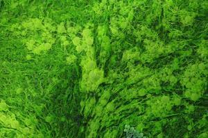 Close up of natural green seaweed