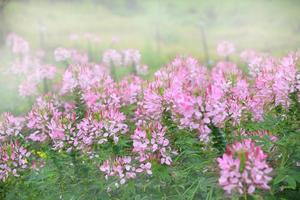 Pink flower meadow with sunlight in the background