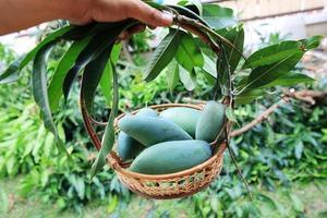 Deliciosos mangos verdes en una canasta de madera de una granja de mangos