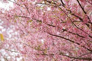Blooming pink Wild Himalayan Cherry or Prunus cerasoides at Chiangmai Royal Agricultural Research Center Khun Wang, Thailand