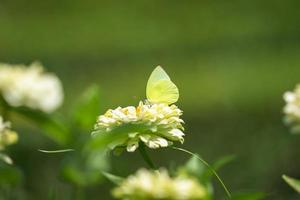 Green butterfly on white flower photo