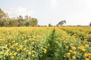 jardín de caléndula amarilla con cielo azul