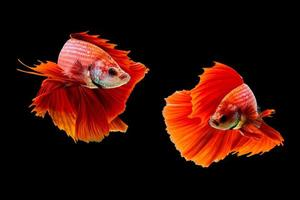 Red dragon fighting fish on black background