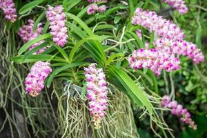 Thai orchid flowers in the orchid farm
