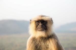 Langurs Presbytis entellus in India