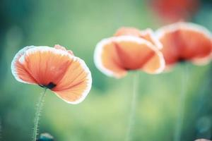 Vintage color of blooming poppy flower photo