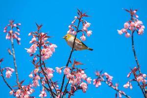 Bird on cherry blossom trees photo