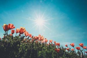 Campo de amapolas y flores silvestres en la luz del sol bajo un cielo azul foto