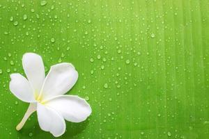 Frangipani or plumeria flower, and banana leaf on a Zen spa background