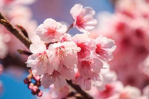 Pink cherry blossom with blue sky