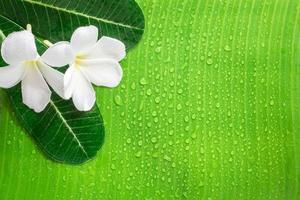 Frangipani or plumeria flower, and banana leaf on a Zen spa background photo