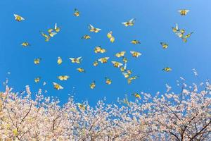 Pink cherry blossoms with butterflies in the sky