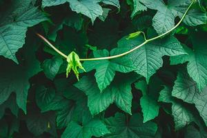 Green leaves on a vine photo