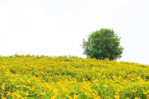 Yellow flower field and a tree photo