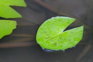 Lotus leaf floating on the water