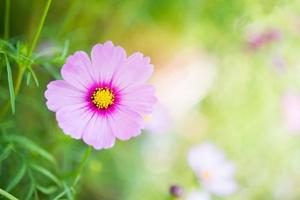 primer plano, de, rosa, cosmos, flor foto
