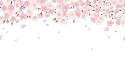 Seamless Floral Background With Cherry Blossoms In Full Bloom Isolated On A White Background. Horizontally Repeatable. vector