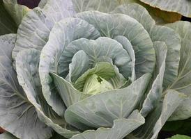 Close-up of cabbage head