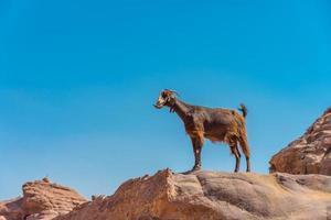 Cabra en las montañas de Petra, Jordania foto