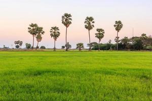campo de arroz y palma de azúcar al atardecer