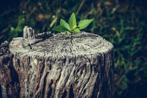Tree stump growing photo