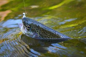 Trout caught on artificial soft bait floating in water