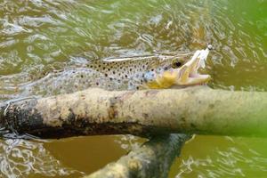 Trout caught on bait photo