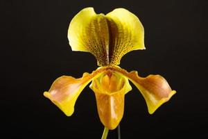 Yellow orchid on black background
