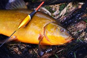 Tench fish lying on a fishing net with a fishing float