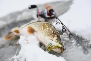 Pike fish next to fishing rod