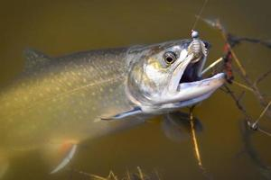 Brook trout in the water caught on an artificial bait