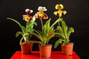 Three potted orchids