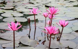 Pink lotus blossoms in the water