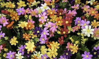 cama de flores de margarita colorida foto