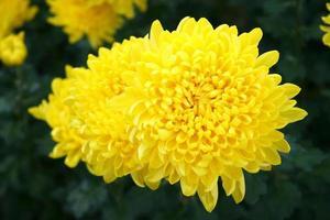 flor de caléndula amarilla foto