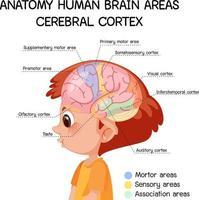 Anatomy human brain areas cerebral cortex with label vector