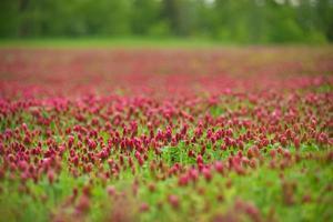 campo o flores rojas