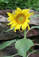planta de girasol brillante