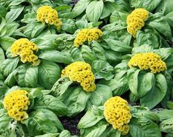 Cockscomb flowers in a garden photo