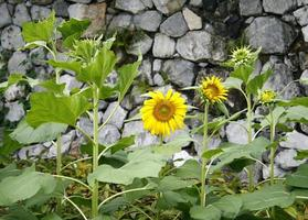 Sunflowers in front of a rock wall photo