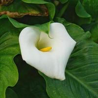 flor de lirio de cala en el jardín foto