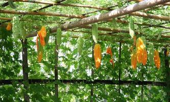 Gourds hanging on vegetable tunnel