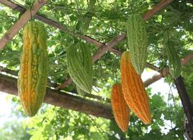 Gourds hanging from vines