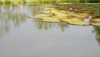 Tranquil lily pond photo