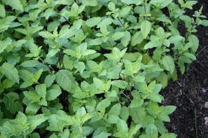 plantas de albahaca tailandesa