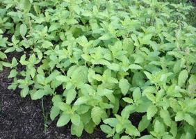 grupo de plantas de albahaca