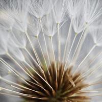 White dandelion flower seed